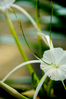 130131 Spider Lilly 2