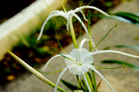 130131 Spider Lilly 4
