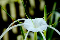 130131 Spider Lilly 7