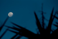 Moon rising over the Yucca tree 1