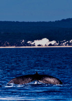 Humpback Whale Tail off Fraser Island