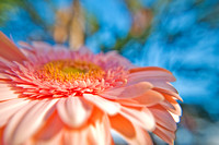 Pale Pink Gerbera in the garden