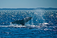 Humpback Whale Tail and blow hole spray